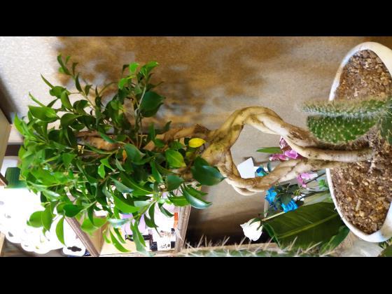 درختچه زینتی (بونسای 8)