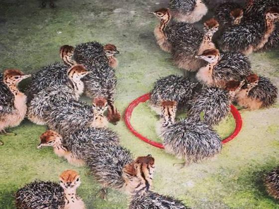 مزرعه شتر مرغ مجید